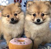 11 Wochen alte Pomeranian Welpen
