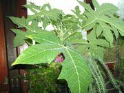 Geschätzte Heilpflanze Papaiea aus den