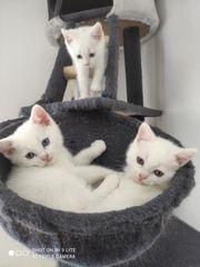 BKH BLH Kitten weiß schwarz