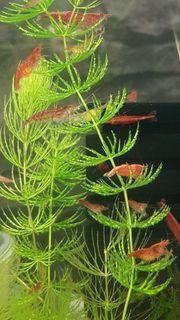 Red Fire Red Cherry Garnelen