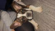 Französische Bulldogge 6 Monate