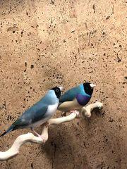 Gouldamadinen Paare Blau-Spaltzimt Blau Silber