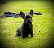 Französische Bulldogge Hündin mit AT