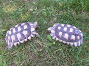 1 Paar Breitrandschildkröten NZ 012