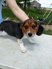 schone beagle welpen
