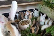 Deutsche Riesen Mix - Kaninchen - Hase -