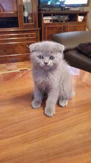 Sccotisch Fold Kätzchen