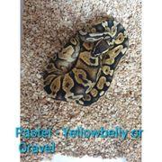 königspython python regius Pastel Yellowbelly