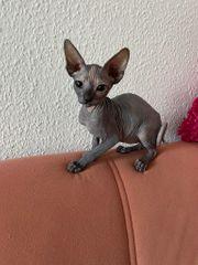 Don-Sphynx Kitten