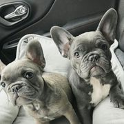 Französische Bulldoggen WelpenWir haben noch