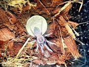 Spiderlinge im Paket diverse Vogelspinnen