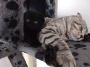 Zwei BKH Scottish fold Kitten