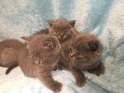 zuckersüsse Britisch-Kurzhaar-Kätzchen BKH-Kitten