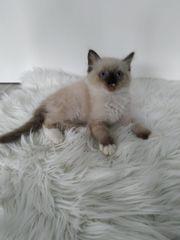 Wunderschöne reinrassige Ragdoll Kitten - auszugsbereit