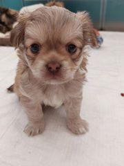 2 süße Chihuahua Mix Welpen