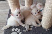 Heilige Birma Kätzchen
