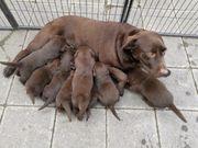 Labrador Welpen in Braun Schwarz