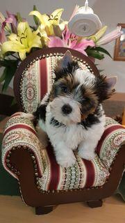 Biewer Yorkshire Terrier Welpen mit