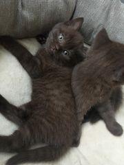 BKH Kitten Schoko