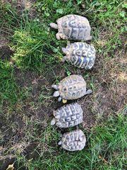 5 Griechischen Landschildkröten