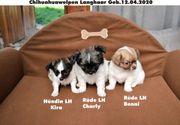 3 Zuckersüsse Chihuahuawelpen Langhaar Reinrassig