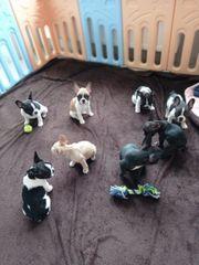 Französche bulldoggen Welpen Abgabebereit