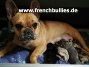 Französische Bulldogge Welpen seltene Farben