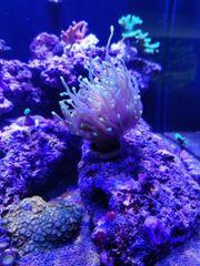 Euphyllia Glabrescens Koralle Meerwassee