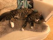 Katze Olaf vermisst