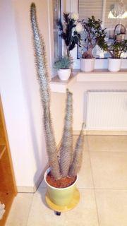 Wunderschöner riesen Kaktus Madagaskar Palme