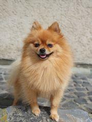 Pomeranian Deckrüde