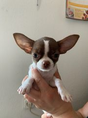 Chihuahua Junge Mini