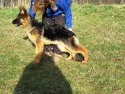 Deutscher Schäferhund jung und weiblich