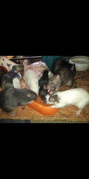 7 Ratten Mädchen mit Käfig