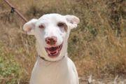 Zuri - Podenco-Welpe aus dem Tierschutz