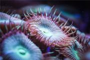 Koralle Ableger Meerwasser Aquarium Protopalythoa