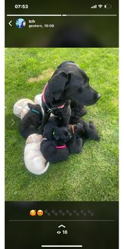 Labrador Welpen neues Familienmitglied ab