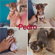 Chihuahua Rüde - Pedro