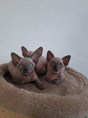 Sphynx Kitten Jungen mit Blauen