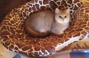 Typvolle verschmuste BKH-Kätzchen in Gold