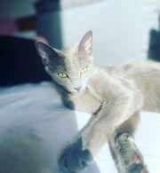 Russisch Blau Kitten Katze Kater