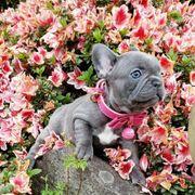 französische bulldogge blaue