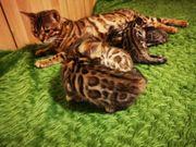 Reinrassige Bengal Kitten mit Stammbaum