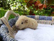 junges Ch Teddy Meerschweinchen
