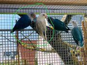 Agaporniden Blaues Pärchen