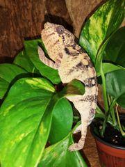 Pantherchamäleon Weibchen lat Furcifer pardalis