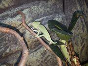 Jemenchamäleon Weibchen