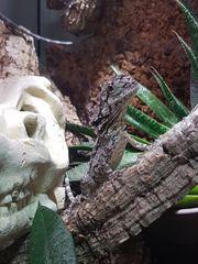 Kragenechsen Weibchen Chlamydosaurus Kingii Black