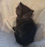 Britischkurzhaar Kitten aus Hobbyzucht