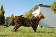 Bengal Kater sucht Dame